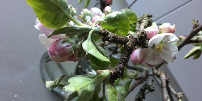 Sprigs of Apple Blossom